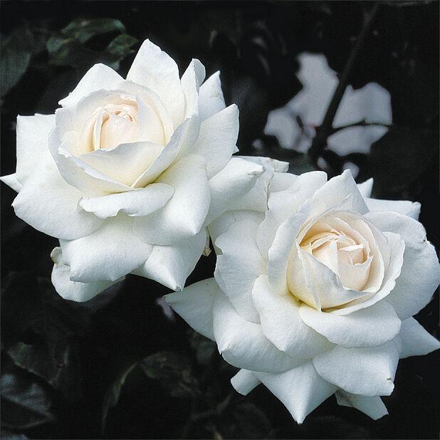 Klaserose 'Schneewittchen', Høyde 20 cm, Hvit