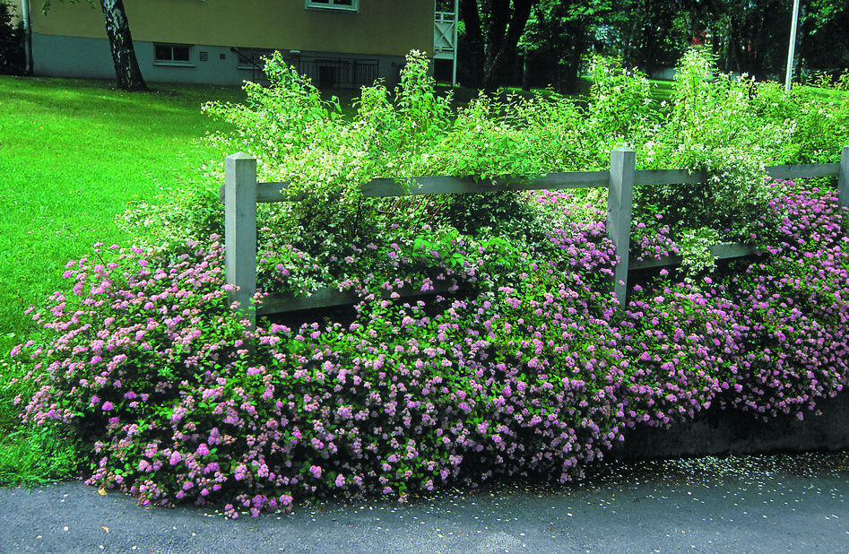 Japanspirea 'Little Princess' 5L
