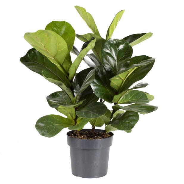 Fiolinfiken, Høyde 40 cm, Grønn