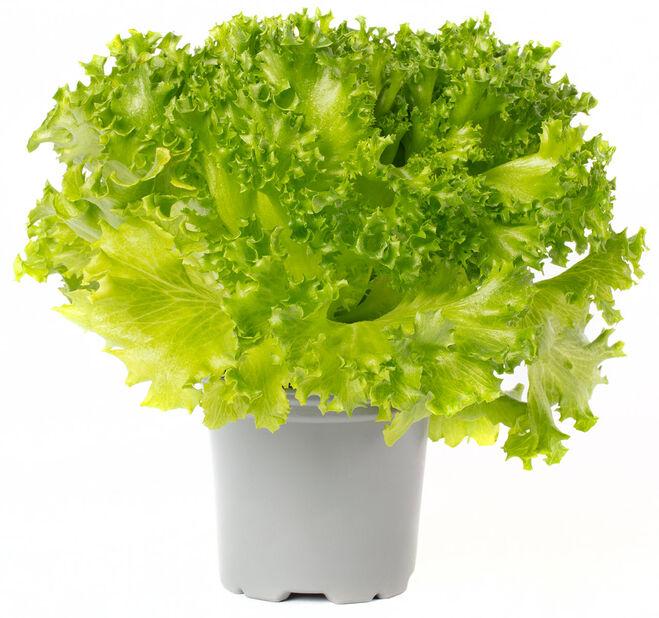 Cripssalat, Ø12 cm, Grønn