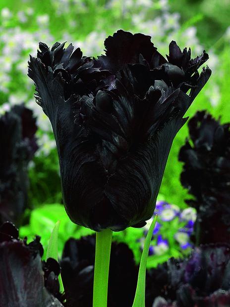 Tulipan 'Black Parrot'