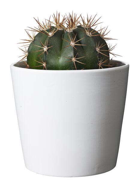Kaktus miks, Høyde 20 cm, Grønn