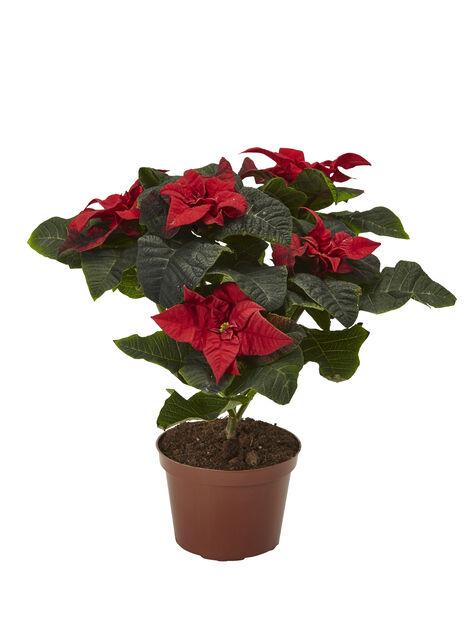 Julestjerne 'Winter Rose' 12 cm
