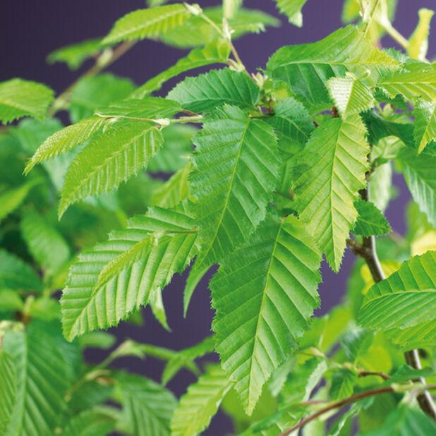Agnbøk, Ø22 cm, Grønn
