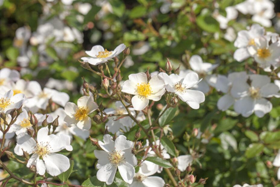 Rose Rambler helenae 'Hybride', Høyde 80 cm, Gul
