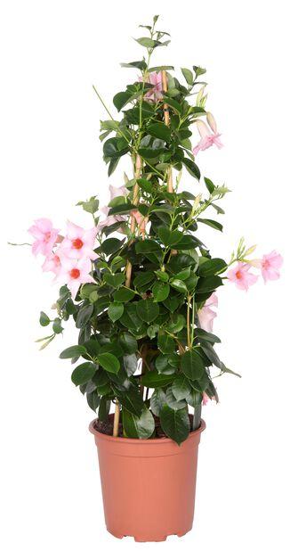 Ynde, Ø17 cm, Rosa
