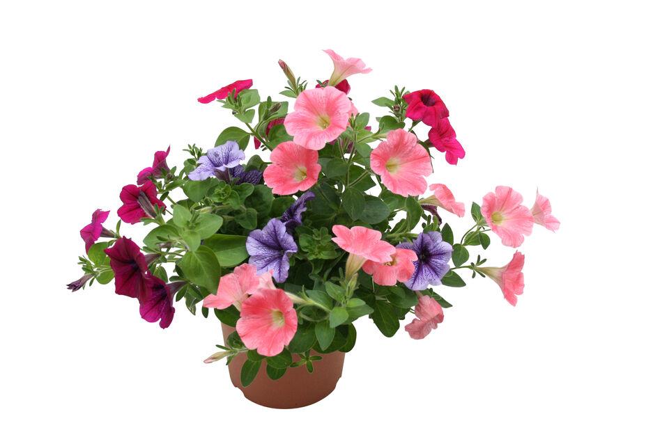 Petunia storblomstret, Ø12 cm, Flerfarget