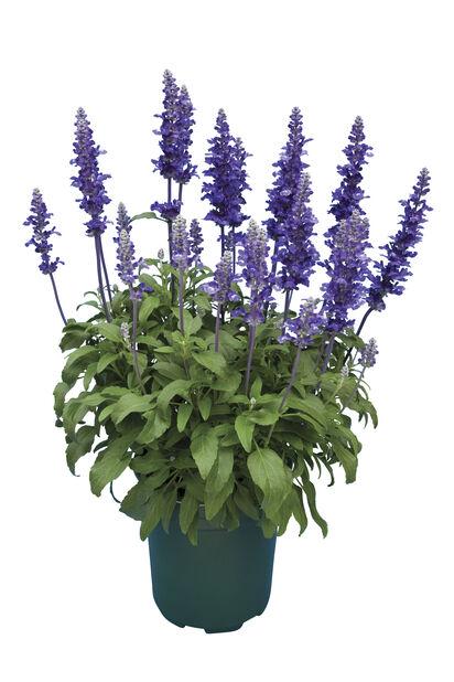 Salvia blå 19 cm