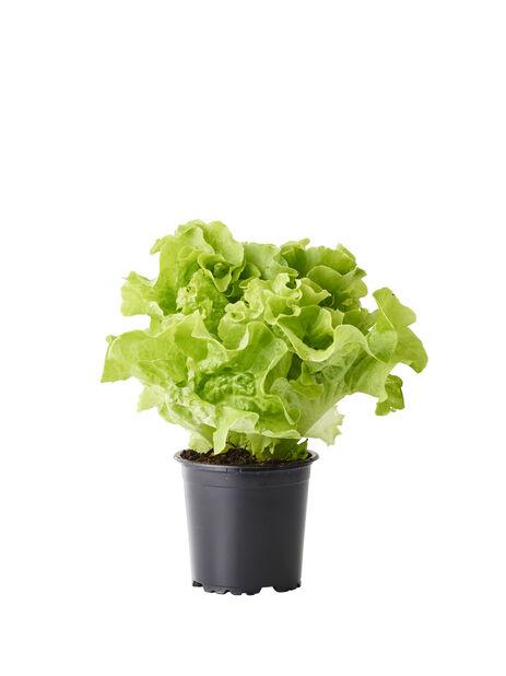 Salat, Ø10.5 cm, Flere farger