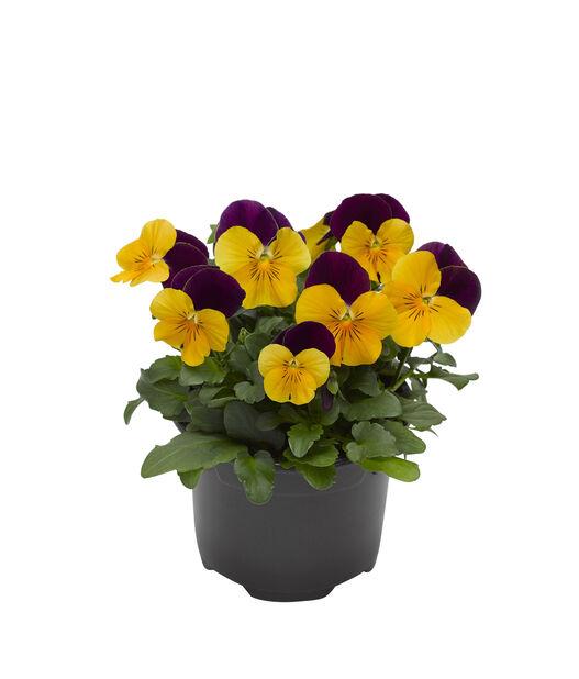 Stemorsblomst småblomstret, Ø12 cm, Flere farger