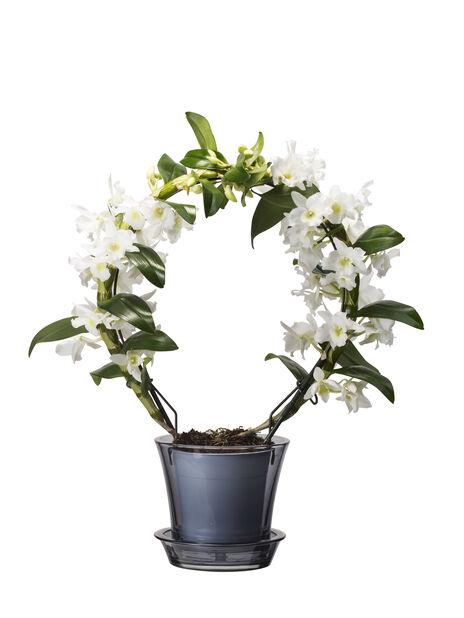Dendrobium orkidé 12 cm