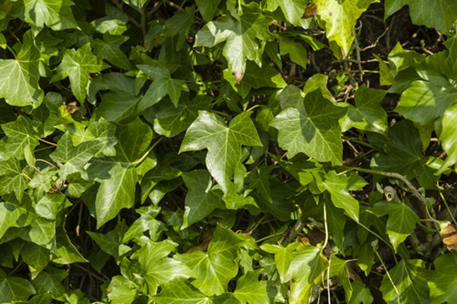 Eføy 'Woerner', Høyde 90 cm, Grønn