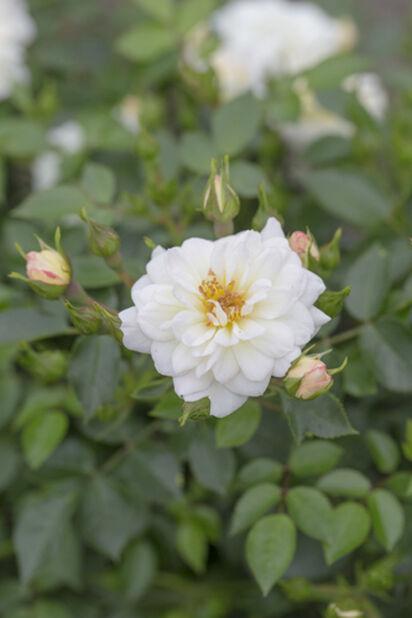 Rose 'Finlands vita ros', Høyde 20 cm, Hvit