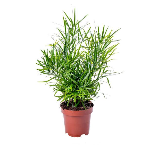 Asparagus falcatus 17 cm