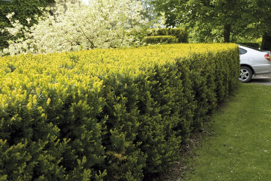 Hybridbarlind 'Hillii', Høyde 40-50 cm, Grønn