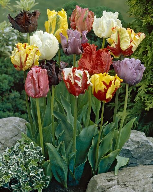 Tulipan 'Parrot Mix'