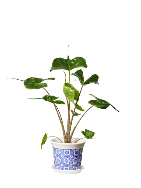 Alocasia 'Stingray', Høyde 45 cm, Grønn