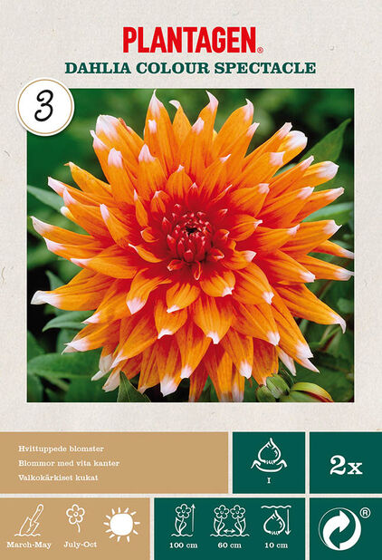 Kaktusgeorgine 'Colour Spectacle', Oransje