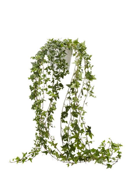 Eføy 12 cm