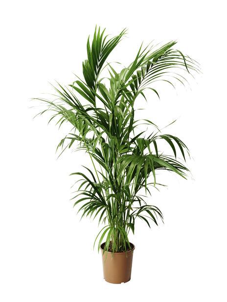 Kentiapalme, Høyde 180 cm, Grønn