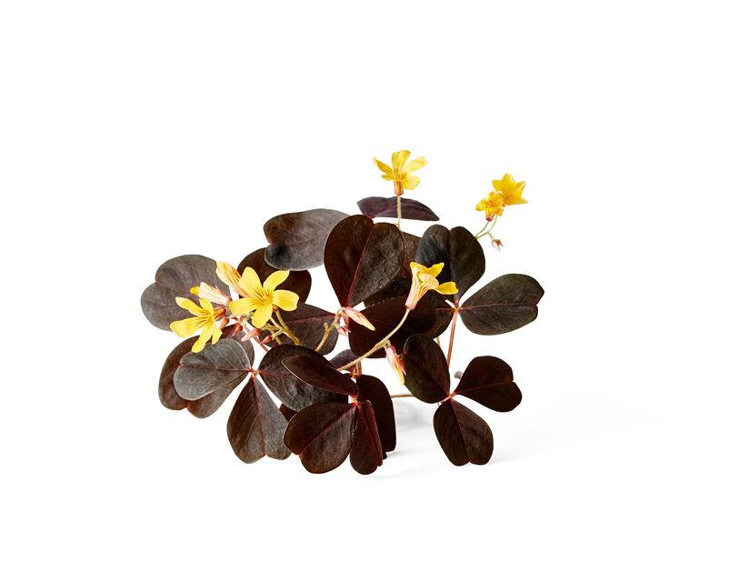 Oxalis, Ø12 cm, Rød