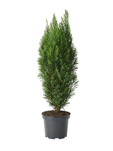 Sypress Ellwoodii i 19 cm