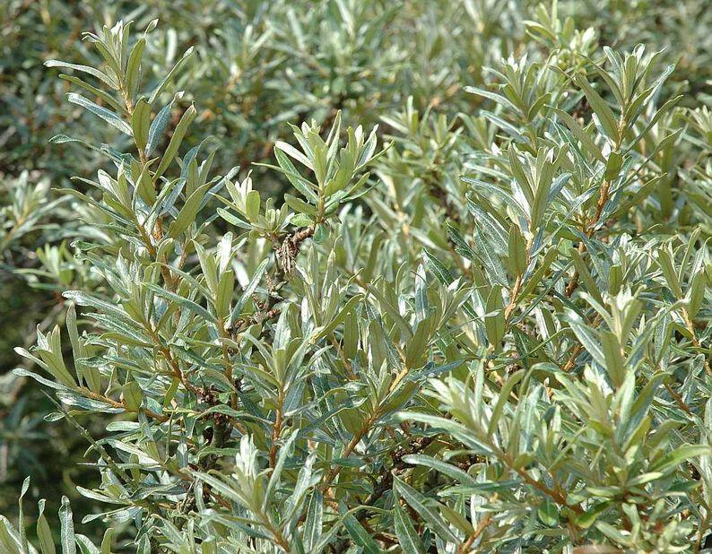 Hippophae rhamnoides 'Romeo' busk co 4,5L