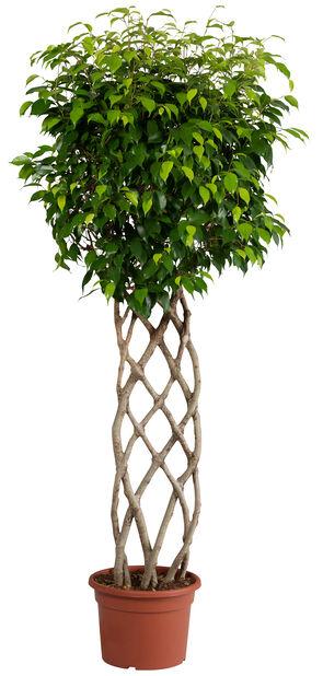 Ficus wintergreen 'Petate' 27cm