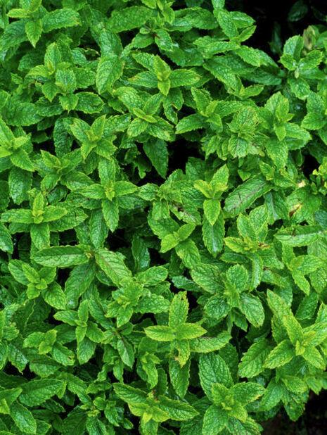 Grønnmynte, Høyde 15 cm, Grønn
