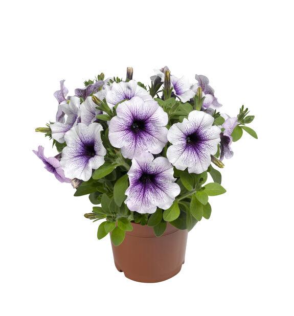 Petunia 'Blue Vein', Ø12 cm, Blå