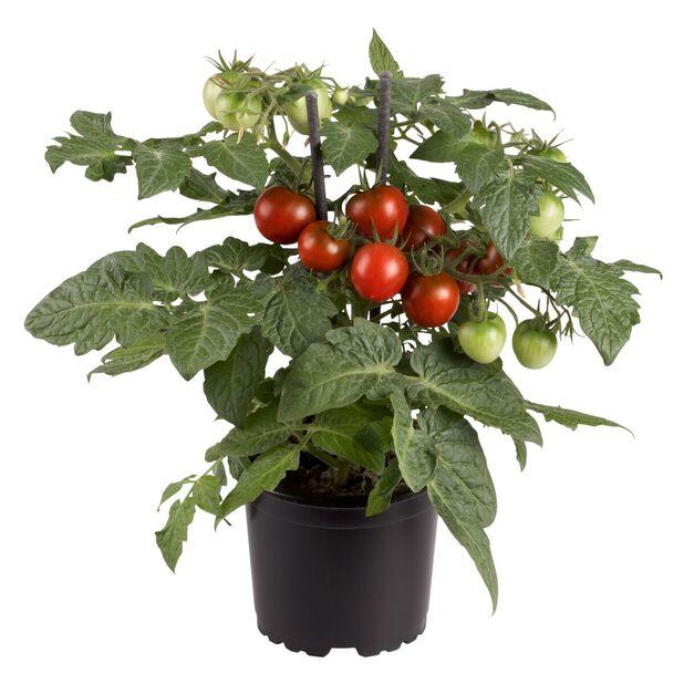 Tomat mini, Ø10.5 cm, Svart