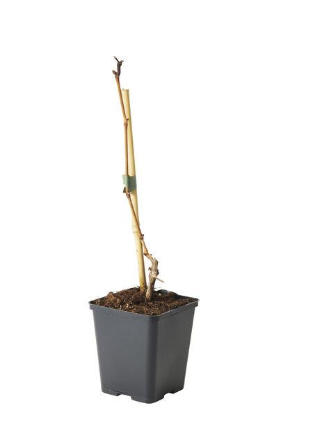 Blå druer, Ø12 cm, Grønn