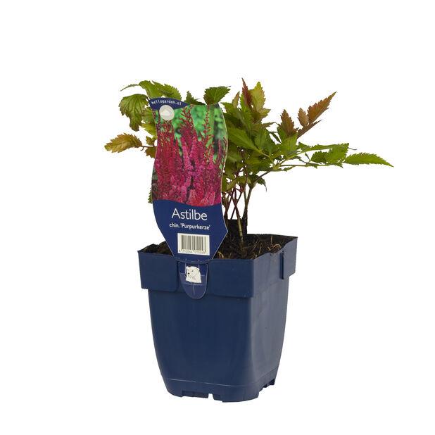 Kinaastilbe 'Purpurkerze', Ø11 cm, Rosa