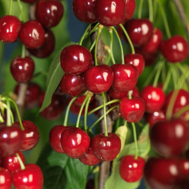 Søtkirsebær 'Regina', Høyde 160 cm, Rød