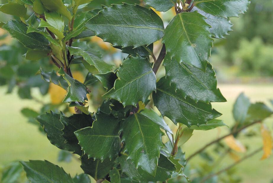 Kristtorn 'Heckenstar', Høyde 30 cm, Grønn