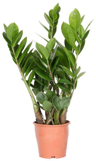 Smaragdpalme, Høyde 30 cm, Grønn