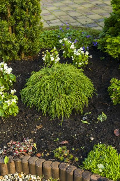 Ertesypress 'Filifera Nana', Høyde 25 cm, Grønn