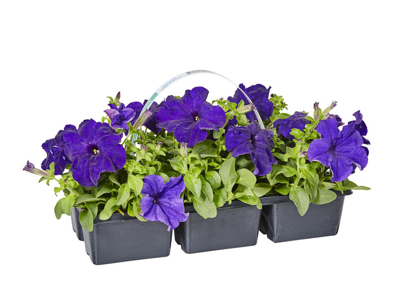 Petunia i 6 pakk blå