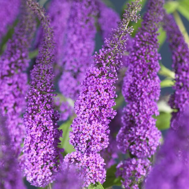 Buddleja davidii 'Buzz Hot Raspberry', Høyde 30 cm, Rosa