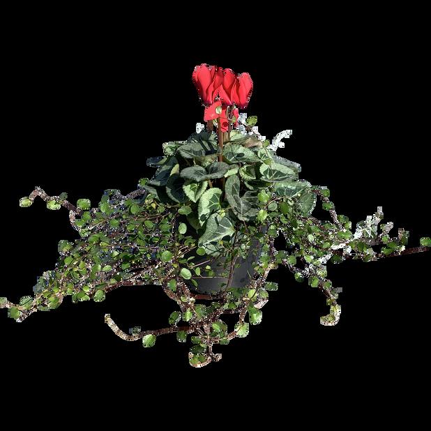 Alpefiol 'Dream', Ø14 cm, Rød