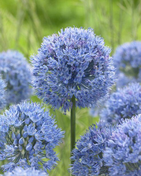 Allium 'Caeruleum', Blå