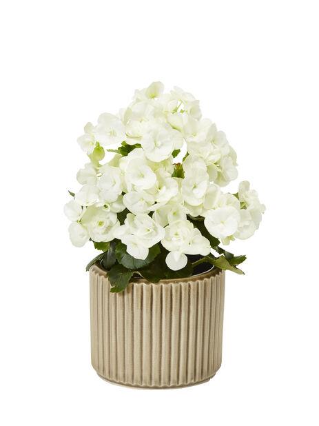 Begonia , Høyde 25 cm, Hvit