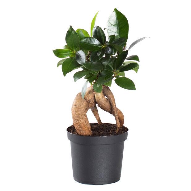 Bonsaifiken, Høyde 20 cm, Grønn