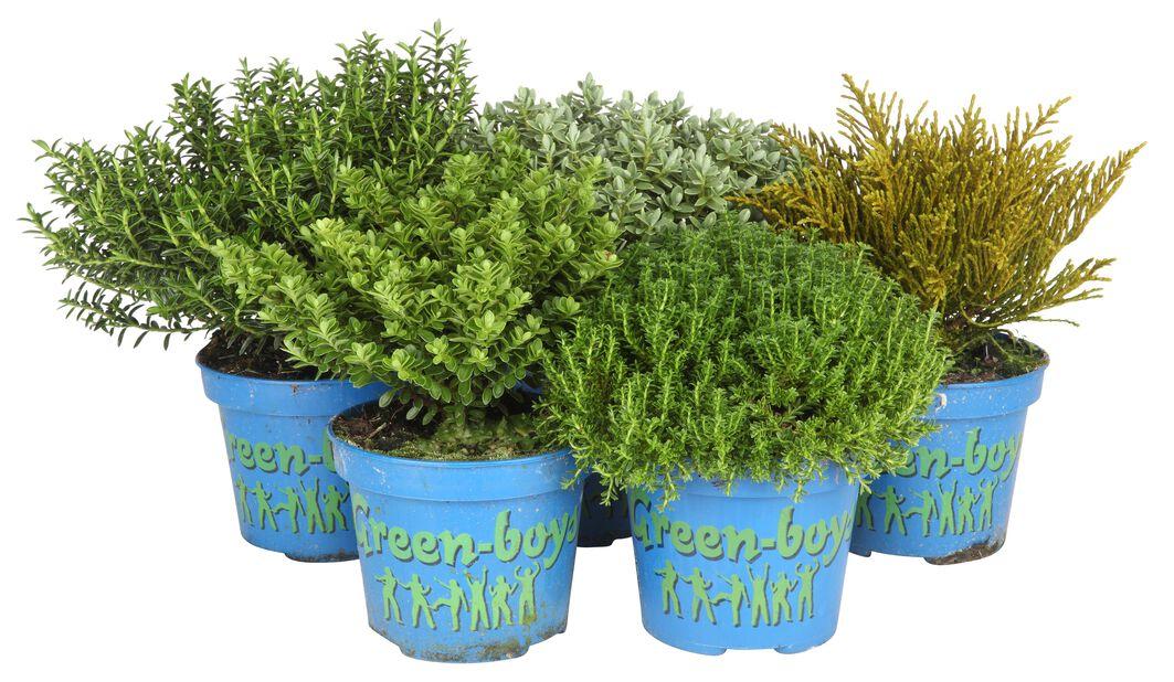 Hebe 'Green Boys', Ø12 cm, Flere farger