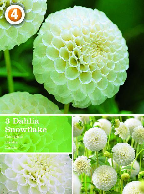 Dahlia Snowflake, Hvit