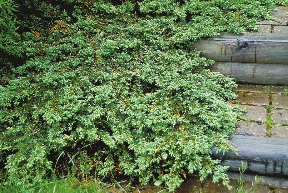 Fjelleiner 'Green Carpet', Høyde 25-30 cm, Grønn