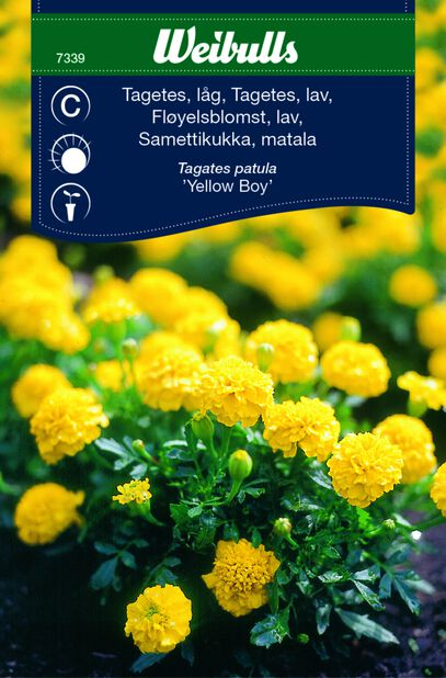 Tagetes 'Yellow Boy'