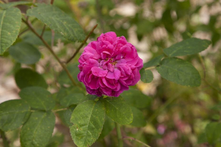 Buskrose 'Rose de Rescht' , Ø19 cm, Rød