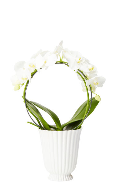 Orkidé, Høyde 40 cm, Hvit