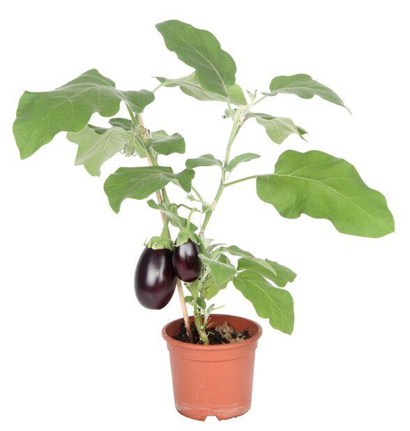 Innhøstingsklar aubergine 'Roma'
